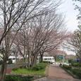 都立水元公園 2009/4/4 桜3