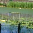 権八池のアサザ