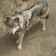 オオカミはトナカイを救う