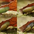 ベニシジミの蛹